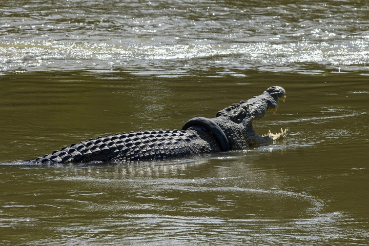 Снимите шину! Индонезийский крокодил пал жертвой мотоциклизма